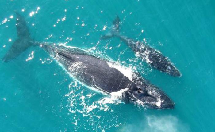 Balena cu cocoaşă (Megaptera novaeangliae)