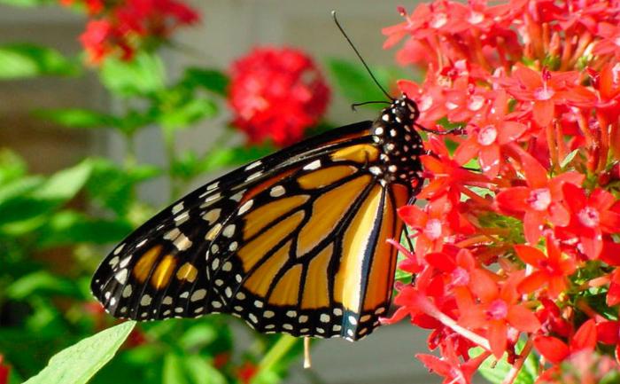 Fluturele Monarh (Danaus plexippus)