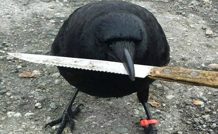 Canuck este cunoscut pentru atacurile sale şi chiar a reuşit să fure un cuţit de la locul crimei.