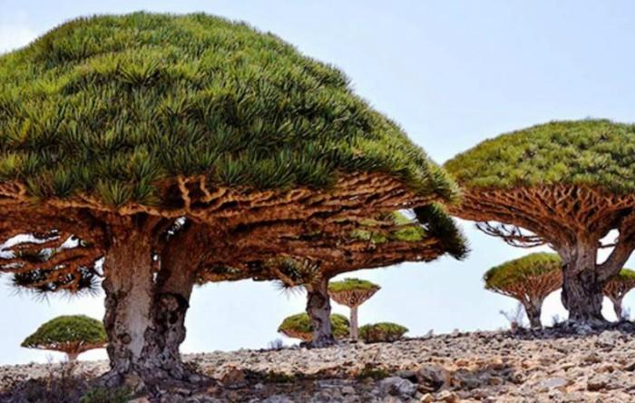 Dragonul (Dracaena cinnabari) este un copac din insula Socotra, Republica Yemen
