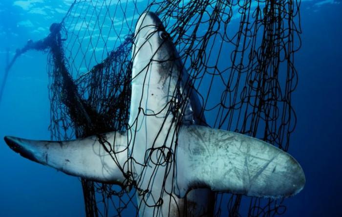 Un rechin prins într-o plasă în Marea Cortez, Golful California