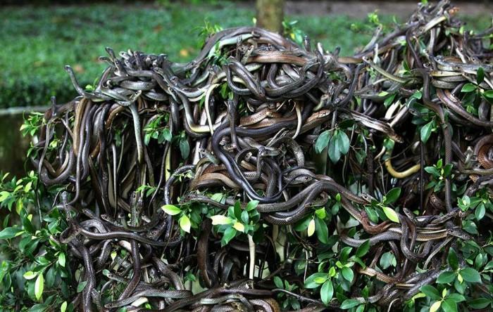 Această specie de şerpi, Bothrops (Bothrops insularis), un gen de şerpi din familia Viperidae, este endemică la Insula Queimada Grande, Brazilia