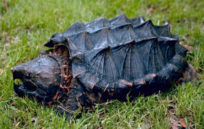 Broasca ţestoasă aligator (Macrochelys temminckii)
