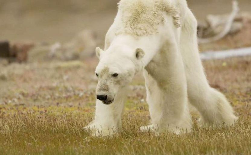 Ursul polar filmat pe insula Somerset din provincia canadiană Nunavut.