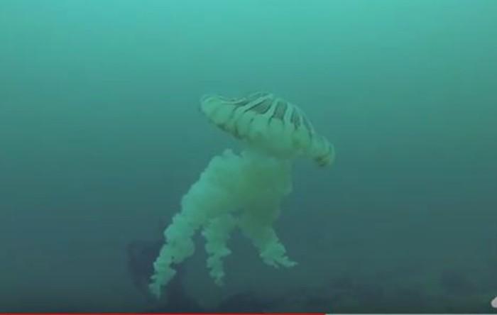 Meduză din specia Chrysaora plocamia