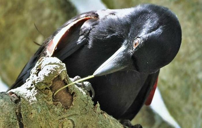 New Caledonian crow /Corvus moneduloides)