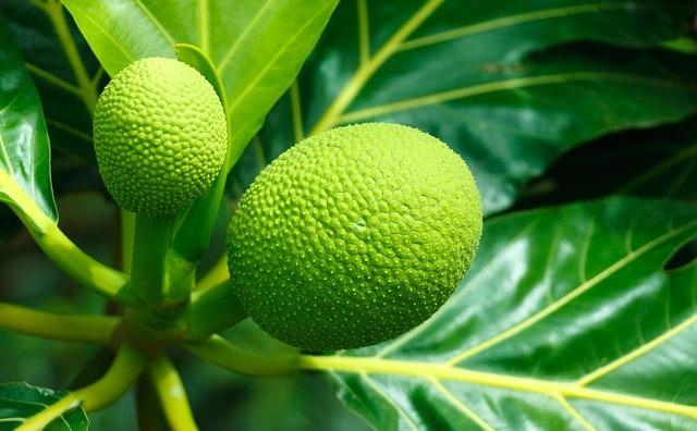Fructul arborelui de pâine: cea mai bună soluţie pentru combaterea foametei