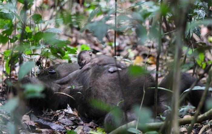 Pui de gorilă