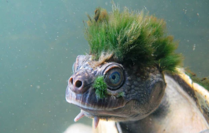 Broasca ţestoasă de râu Mary (Elusor macrurus)