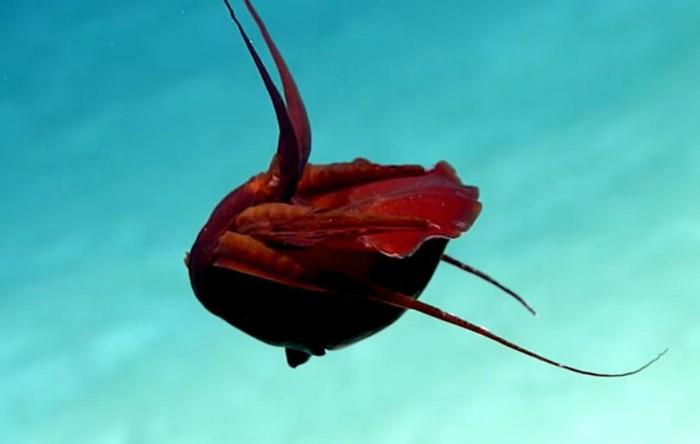 Calamar roşu
