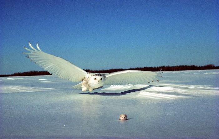 Bufniţa polară (Bubo scandiacus)