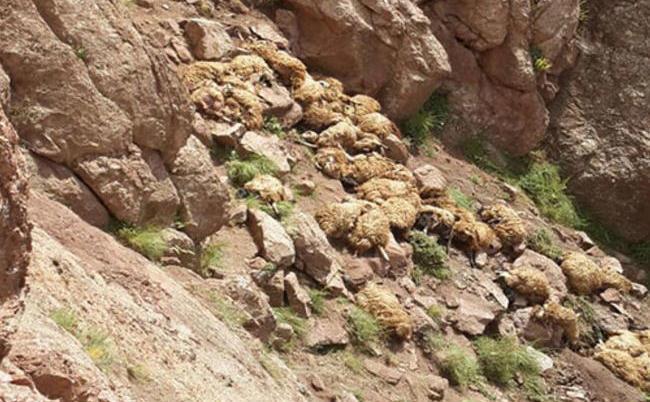 Suicid în masă al unei turme de oi în Turcia