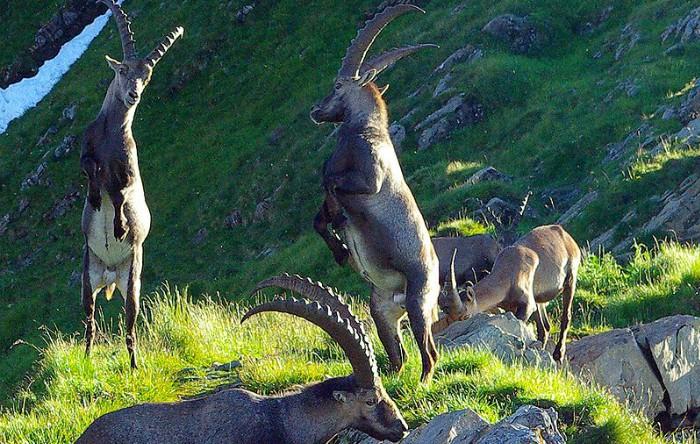 Capre alpine (Capra ibex)
