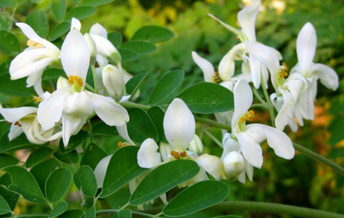 Flori de                   Moringa oleifera