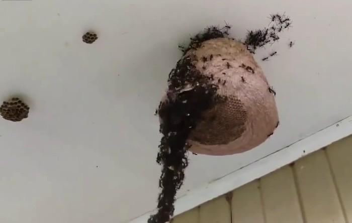 Cuib de viespi atacat de furnicile-legionar