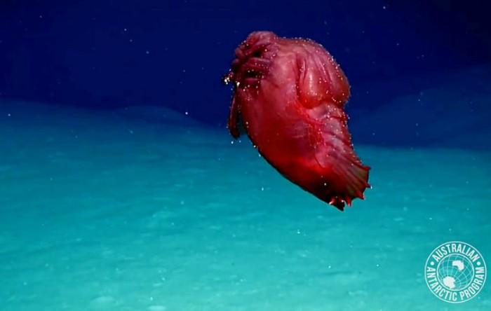 Castravete de mare (Enypniastes eximia)