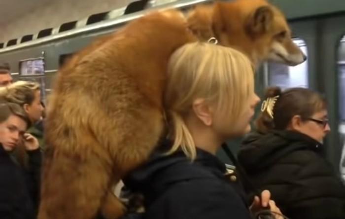 Cu vulpea la plimbare în staţia de metrou Kashirskaya din Moscova, Rusia