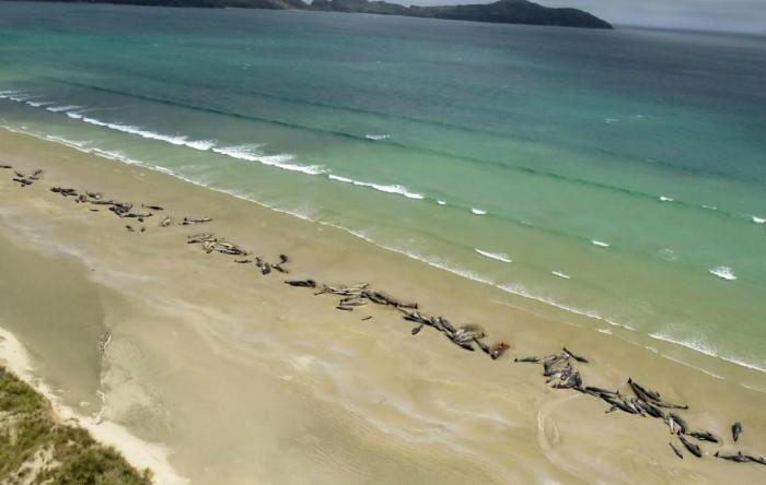 Balene-pilot eşuate în Mason Bay, pe insula Stewart (Noua Zeelandă)
