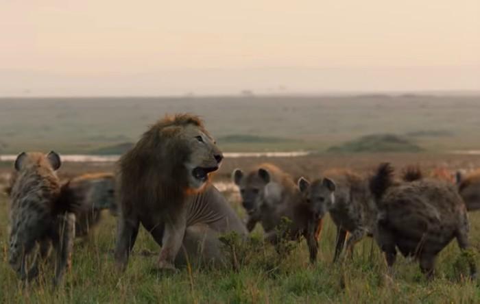 Leu atacat de hiene