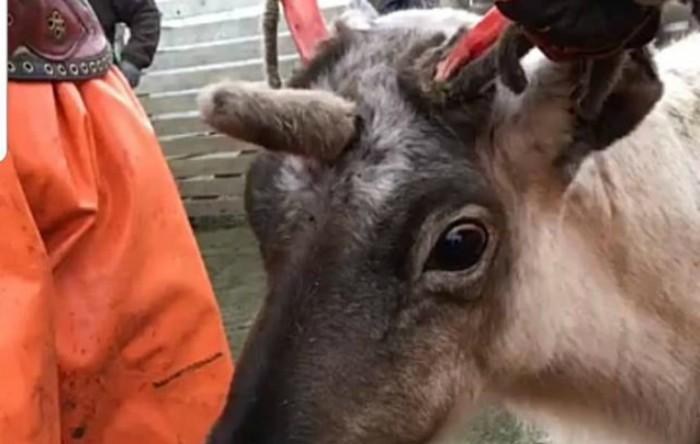 S-a dovedit că animalul tânăr avea de fapt un al treilea corn, care amintea puternic de cornul unui unicorn.