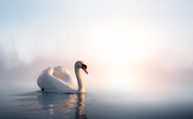 """Ultima operă a unui artist este numită în mod tradiţional """"Cântecul de lebădă"""""""