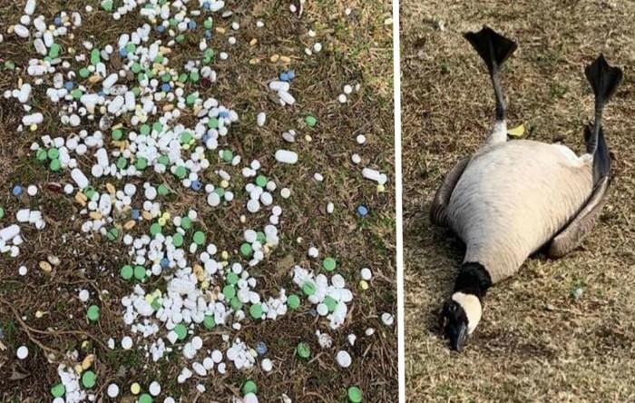 Gâsca şi pescăruşul, care au înghiţit pastile în parcul din California, se recuperează