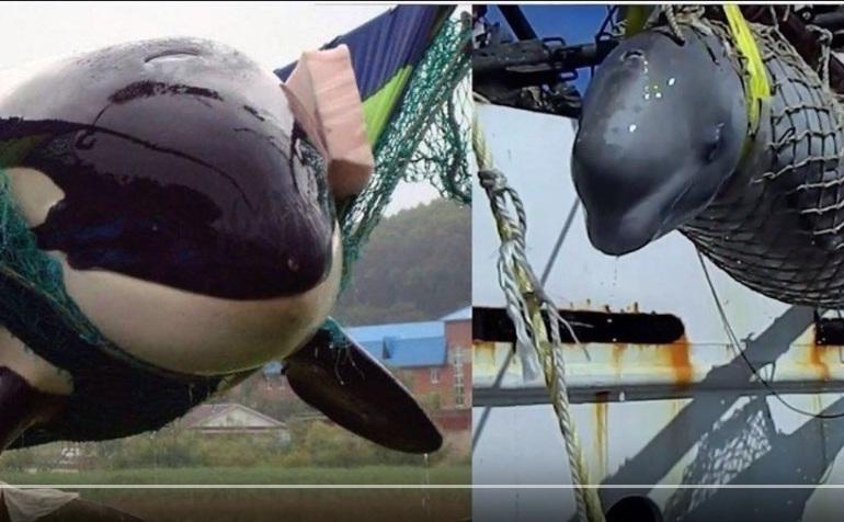 Exemplar de orca (stânga) şi de beluga (dreapta).