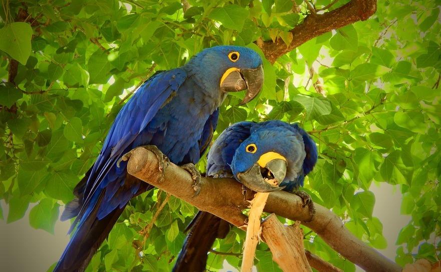 Papagalul macaw albastru este declarat specie disparuta.