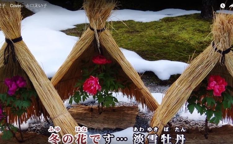 """Bujorii de iarna sunt feriti de zapada sub aceste """"umbrare"""" din paie."""