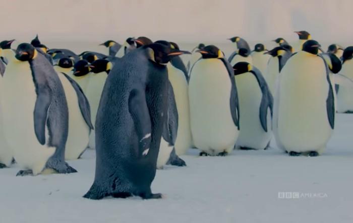 Pinguin imperial (Aptenodytes forsteri) complet negru
