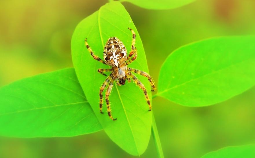 Păianjenii vânători pot atinge viteze fulgerătoare de 70 de centrimetri pe secundă atunci când îşi urmăresc prada