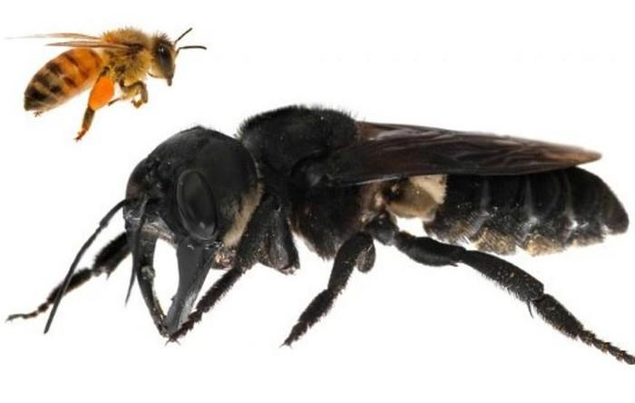 """Exemplar de albina lui Wallace (denumirea ştiinţifică """"Megachile pluto"""") în comparaţie cu o albină europeană (""""Apis mellifera"""")"""