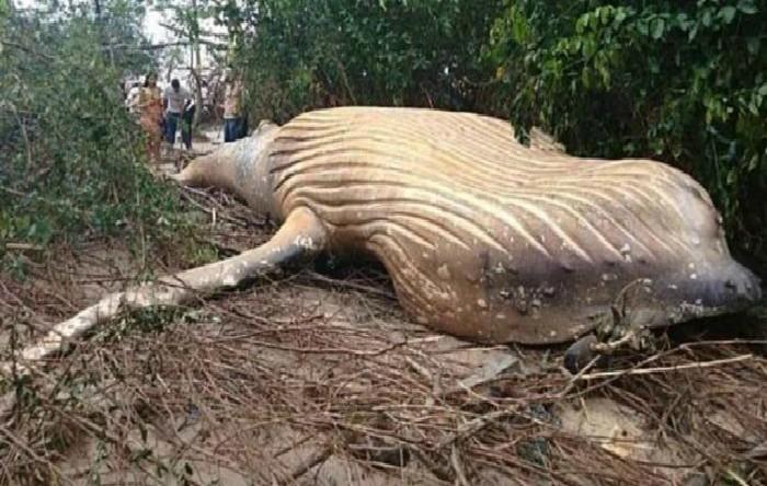 Balena cu cocoaşă eşuată în jungla Amazonului