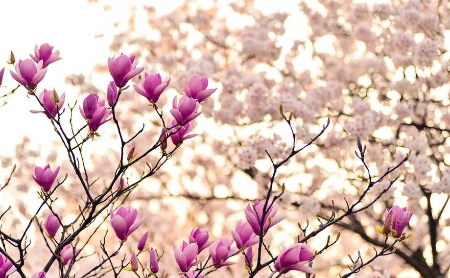 magnolia pierdere în greutate)