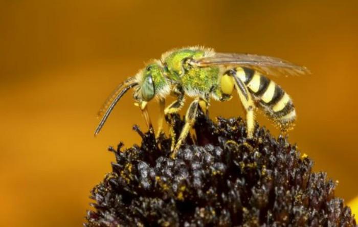 Albina Halictidae