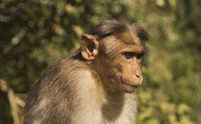 Maimuţă macac