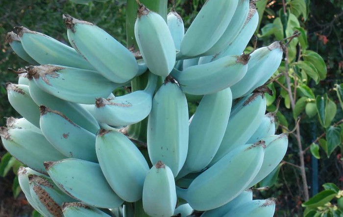Banane 'Blue Java'