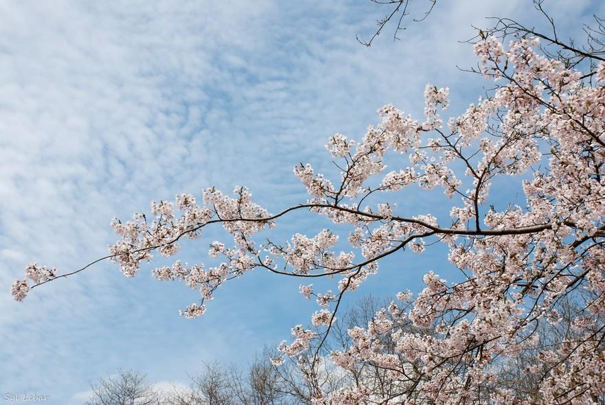 Sakura la apogeu in High Park Toronto, Canada.