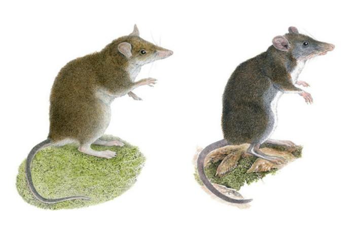 Rhynchomys mingan (stânga), Rhynchomys labo (dreapta)