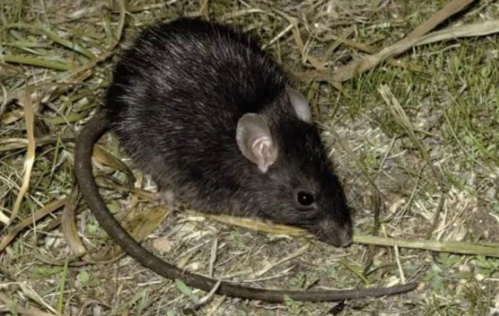 Şobolan negru (Rattus rattus)
