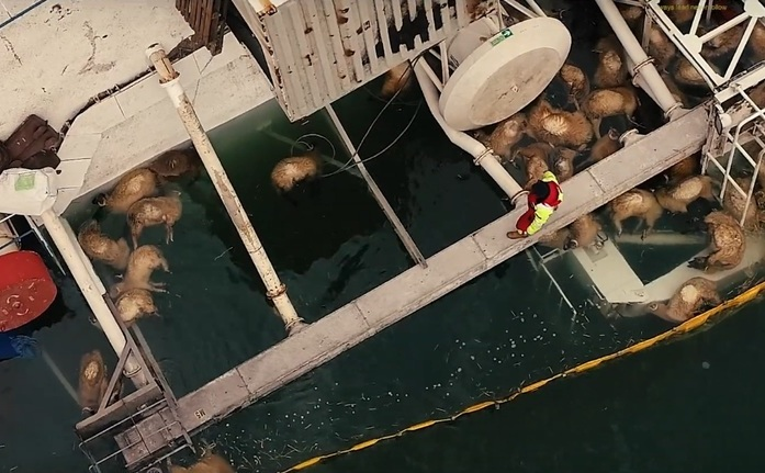Imagini de pe epava din Midia. Se pot observa oile inecate plutind pe apa