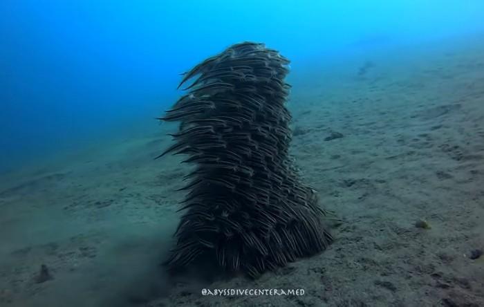Peşti Plotosus lineatus