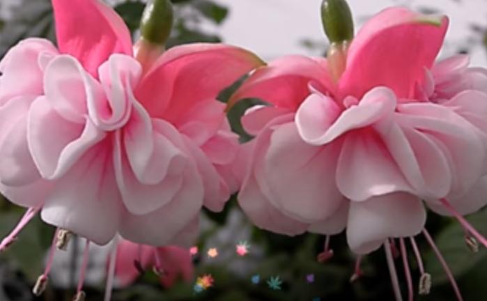 Fuchsia (cerceluş)