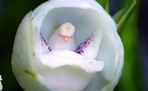 Orhideea Floarea îngerului