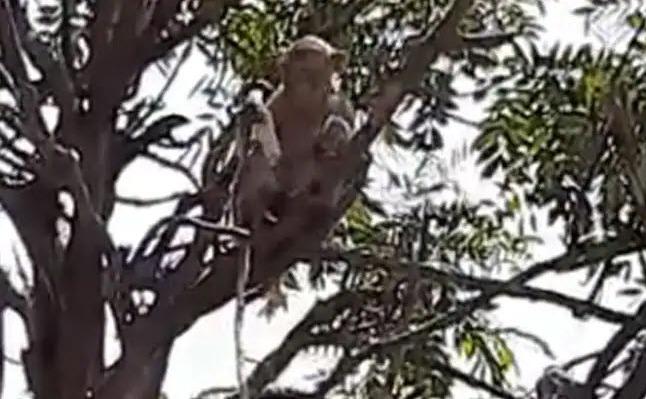 Maimuţe fură eşantioane de virus Wuhan în India