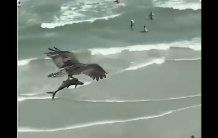 Vultur pescar african (Haliaeetus vocifer)