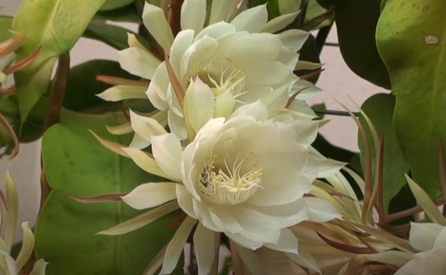 Floarea Kadupul sau regina nopţii (Epiphyllum Oxypetalum), originară din Sri Lanka