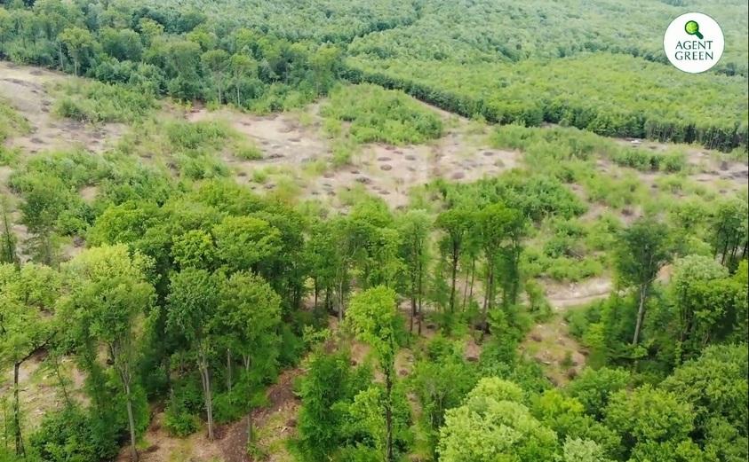 Pădure seculară defrişată pas cu pas de Romsilva