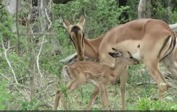 Antilopa africană