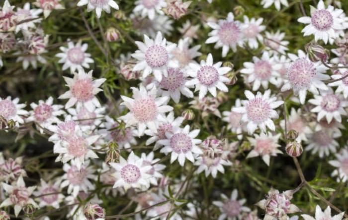 Actinotus helianthi sau flannel flower